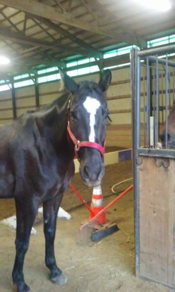 Beautiful and Affectionate Warmblood for Lease