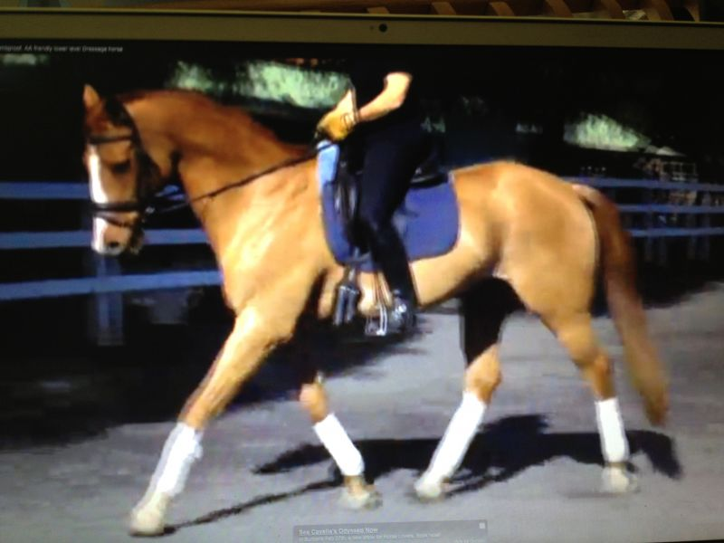Beautiful Chestnut Gelding - The Perfect Pleasure Horse