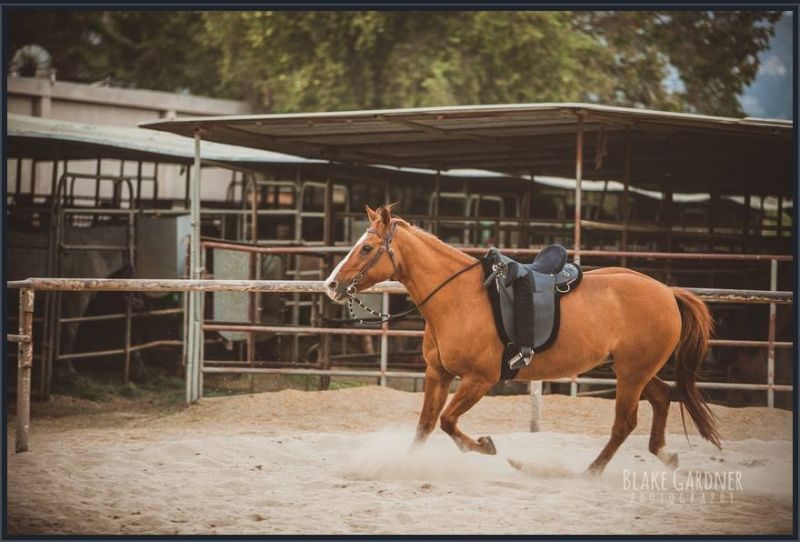 Quarterhorse for lease
