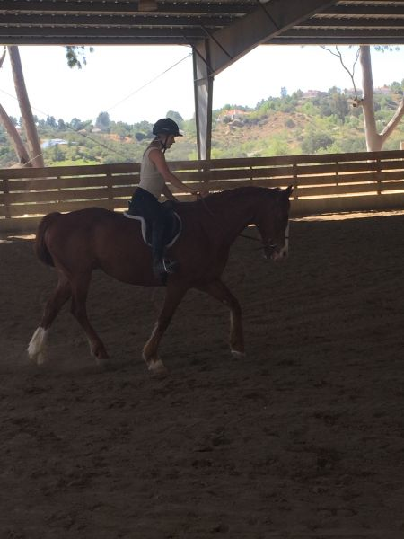 American Warmblood for Lease