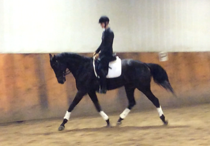 Elegant Hanoverian/Thoro Available for Dressage Shareboarder