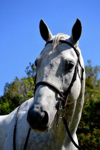 Stunning 15.2 Grey Quarter Horse for LEASE ONLY