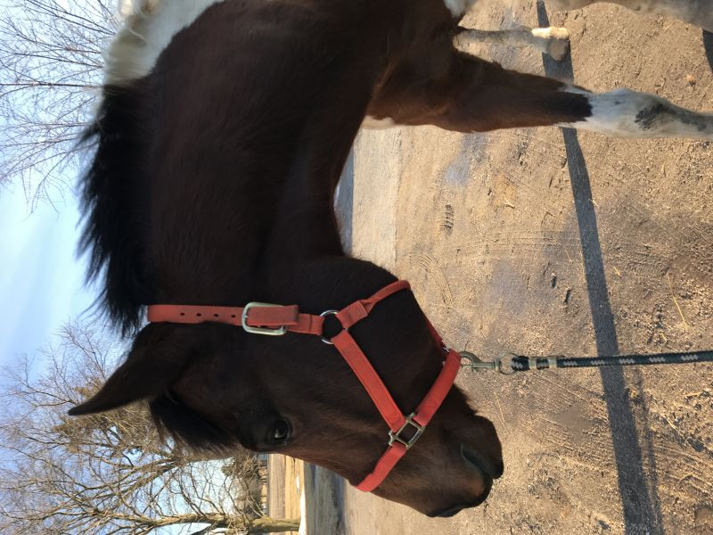 Sawyer- beautiful paint gelding