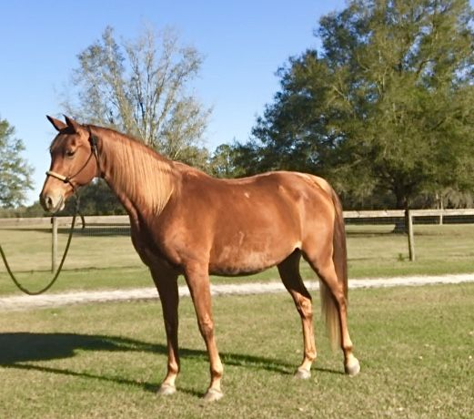 Horse for lease in North Central Florida