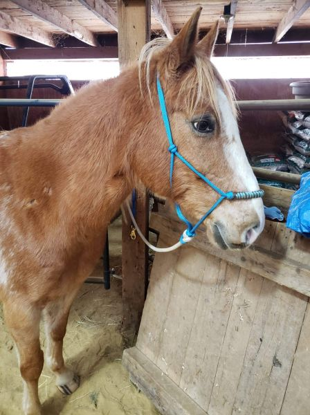 10 yr old 14.2 hand gelding for partial on-farm lease