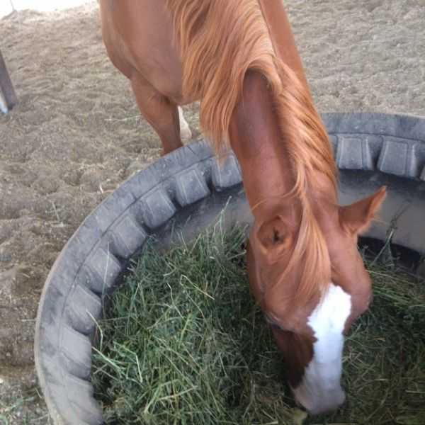 Western-trained AQHA/APHA gelding for lease in Placer County