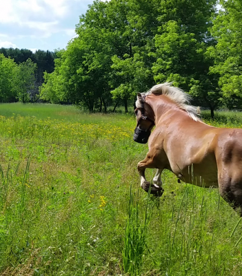 River, Haflinger for lease