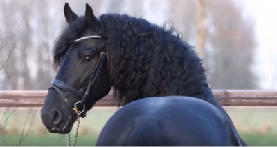 Imported Friesian Gelding For Sale call/text (307) 545-6180