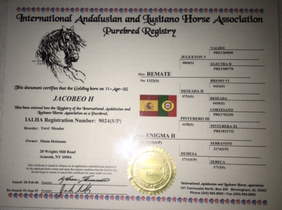 Skilled Andalusian Dressage Gelding