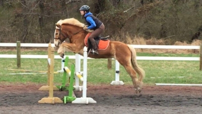 Talented Haflinger Mare for Lease