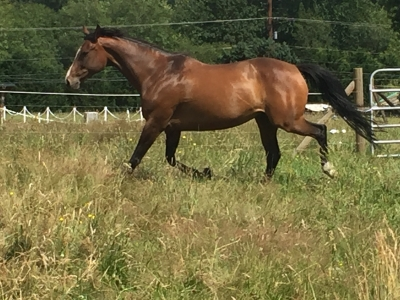16.1 Hand Thoroughbred Mare for ½ lease in Woodinville
