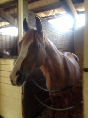 Great Arab Gelding for lease