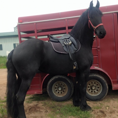 9 year old Friesian mare for leas