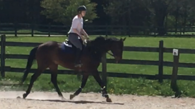 TB gelding for lease - $250