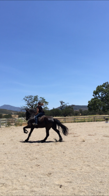 Friesian sport horse for lease