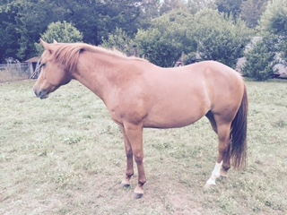 Quarter Horse Mare for Lease in Lake Norman Area