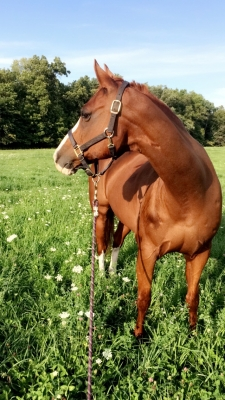 Quarter Horse for lease